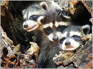 Baby Raccoons at Edisto