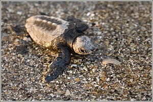 Loggerhead Hatchling at Edisto Beach