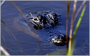 Alligator at Huntington Beach State Park