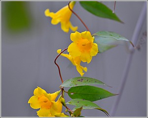 Yellow Jessamine the State Flower