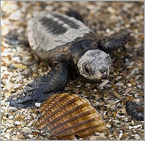 Loggerhead Hatchling at Myrtle Beach