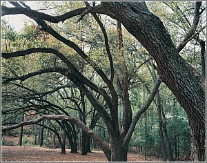 Live Oaks at Sesquicentennial